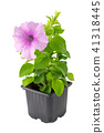 Petunia flower in plastic pot, isolated. 41318445