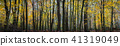 Panorama of a autumn yellow forest 41319049