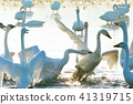Swan struggle (terrifying battle for swan swallow) High quality photo 41319715
