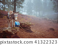 Cute donkey standing sideways near the pine forest on early misty morning ready to work 41322323