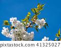 White Japanese Cherry Blossom 41325027
