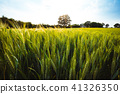 Green wheat field and an oak tree and blue sky on background 41326350