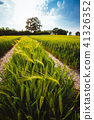 Green wheat field and an oak tree and blue sky on background 41326352