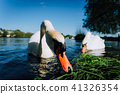 Close up of white grace swan couple stretching his neck and head towards the camera. Alster lake on 41326354