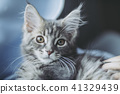 고양이 메인 쿤 41329439