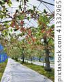 櫻桃 食用櫻桃 佐藤錦櫻花 41332965
