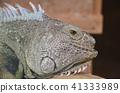 green, iguana, a 41333989