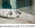 seal, zoo, animal 41334466