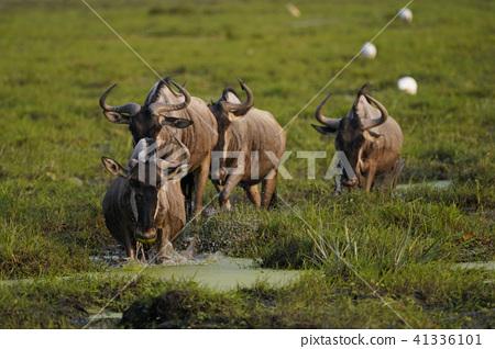 牛羚 哺乳動物 馬賽馬拉國家保護區 41336101