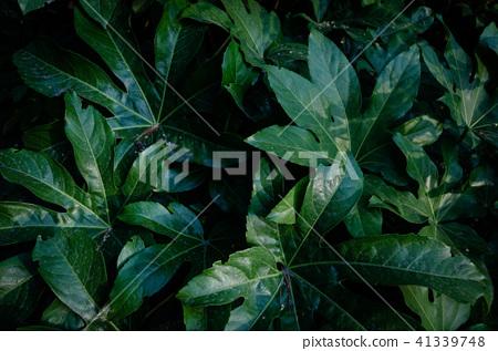 夏天, 黑暗으로 树叶 큰 片叶子, 热带 树叶 41339748