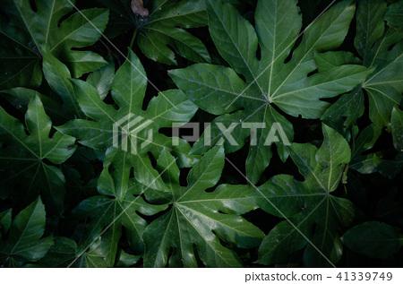 夏天, 黑暗으로 树叶 큰 片叶子, 热带 树叶 41339749