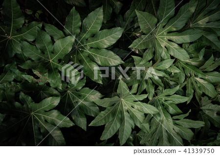 夏天, 黑暗으로 树叶 큰 片叶子, 热带 树叶 41339750
