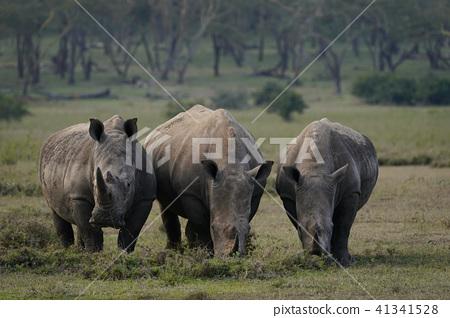 白犀牛 41341528