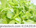 mint, peppermint, botanic 41342016