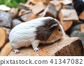 A small guinea pig sits on a stump 41347082