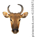 Bos javanicus Head. Red ox is a wild cow. 41350971