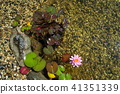Water lily bloom, natural swimming pool relaxation 41351339