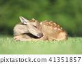 新生小鹿 41351857