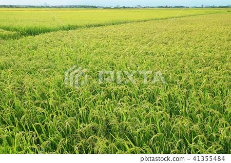 即將成熟的稻子 41355484