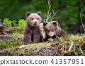 animal, bear, cub 41357951