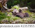 animal, bear, cub 41357955