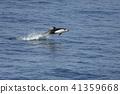 菠菜海豚(青森縣) 41359668