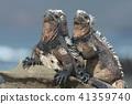 marine, iguana, sea 41359740
