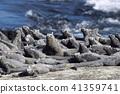 加拉帕戈斯群島 海鬣蜥 鬣蜥蜴 41359741