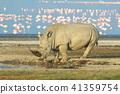 白犀 動物 犀牛 41359754
