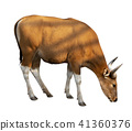 Bos javanicus Head. Red ox is a wild cow. 41360376