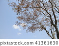 Background is a cherry blossom tree against the blue sky 41361630