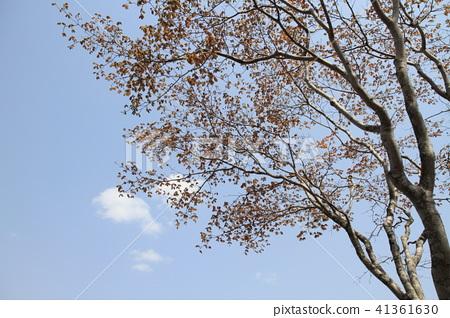 背景是藍天的櫻花樹 41361630