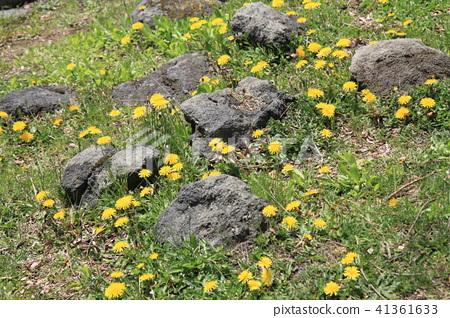 日本北海道五陵郭 - 遍地黃色與白色的小花 41361633
