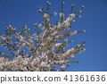 Background is a cherry blossom tree against the blue sky 41361636