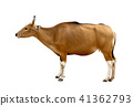 Bos javanicus Head. Red ox is a wild cow. 41362793