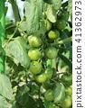 토마토의 재배 41362973