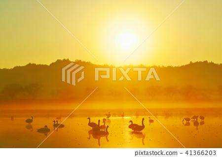 아침 놀의 백조, 태양의 햇빛을 받아 외침의 사진 41366203