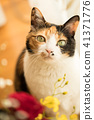 Mikane猫模型 41371776