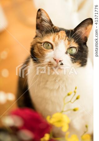 삼색 털 고양이 모델 41371776
