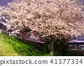 夢前川 제방의 벚꽃 (효고현 히메지시) ※ 작품 설명란에 촬영 위치 41377334