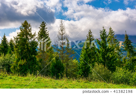 spruce forest on the grassy hillside in mountains 41382198