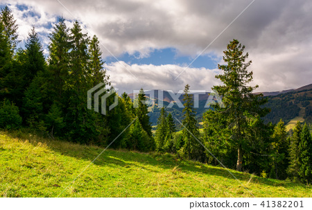 spruce forest on the grassy hillside 41382201