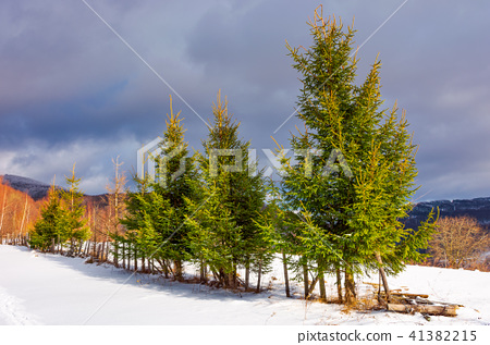 row of spruce trees on top of a hill in winter 41382215