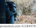 침팬지 41384078
