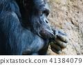chimp chimpanzee monkey 41384079
