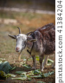山羊的肖像 41384204