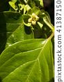 牡蛎花和叶子 41387150