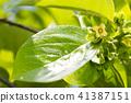 牡蛎花和叶子 41387151