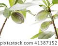 almond, fruit, fruition 41387152