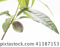 almond, fruit, fruition 41387153